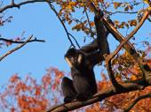 Gibbon male against blue sky — Stockfoto