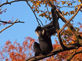 Gibbon male against blue sky — Стоковое фото