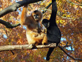 Gibbon mother and father with their baby — Stock Photo