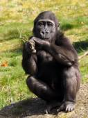 Gorilla youngster sitting — Stock Photo