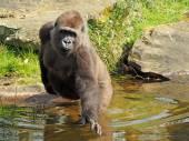 Female gorilla in the water — Stock Photo