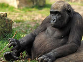 Gorilla youngster sitting near log — Stock Photo