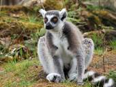 Portrait of Lemur Animal in the reserve — Stock Photo