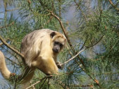 Howler Monkey on tree — Stock Photo