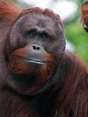 Close up of orangutan male — Stok fotoğraf