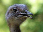 Portrait of a common Rhea — Stock Photo