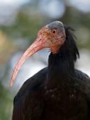Close up of Bald Ibis — 图库照片