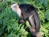 Kapucín opice na stromě — Stock fotografie