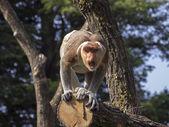 Portrait of Proboscis monkey in the reserve — Stock Photo