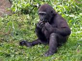 Portret van een gorilla — Stockfoto