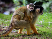 Squirrel monkey with child — Stock Photo