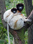 Portrait of crowned sifaka in the reserve — Stock fotografie