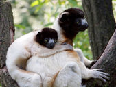 Portrait of crowned sifaka in the reserve — Stock Photo