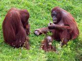 Orang utan with baby — Stock Photo