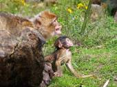 Berber monkeys with baby — Stock Photo