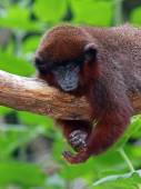 Red titi lying on tree branch — Stock Photo