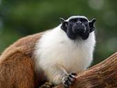Portrait of  Mantle tamarin in the reserve — Stock Photo