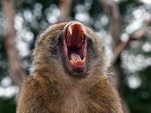 Portrait of a Berber Monkey — Stock Photo