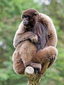 Lagothrix sitting on old tree — Stock Photo