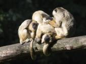 Howler monkeys on tree — Stock Photo
