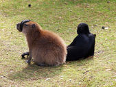 Capybara with monkeys tail on his nose — Stockfoto