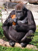 Portrait of a gorilla — Stock Photo
