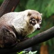 Coati sitting on tree branch — Stock Photo #62391385