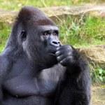 Portrait of a gorilla — Stock Photo #62392195