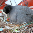 Coot with chick sitting in nest — Stock Photo #62392529