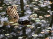 Water turtle on tree in the pond — Stock Photo