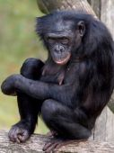 Colombian black spider monkey — Stock Photo