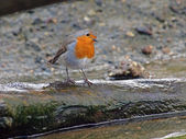 Robin bird on tree in water — Stock Photo