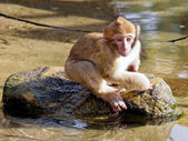 Portrait of baby Berber monkey — Stock Photo