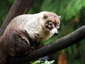 Coati sitting on tree branch — Stock Photo