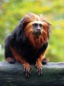 Golden lion tamarin (Leontopithecus rosalia) — Stock Photo