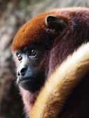 Mantled howler (Alouatta seniculus) resting in a tree — Stock Photo
