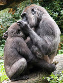 Gorilla mother with her child — Стоковое фото