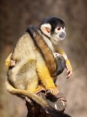 Bolivian black capped squirrel monkey — Stock Photo