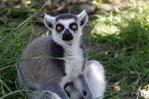 Close-up of a ring-tailed lemur — Stock Photo