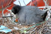 Coot with chick sitting in nest — Stock Photo