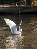 Gull on water near boat — Stock Photo