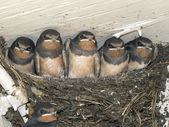 Swallows in the nest — Stock Photo