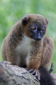 Red bellied Lemur on tree — Stock Photo