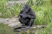 Gorilla youngster at waterfront — Stock Photo