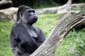 Gorilla silverback near tree — Stock Photo