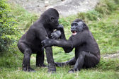 Playing gorilla youngsters — Stock Photo