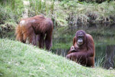 Orang utan near the lake — Stock Photo