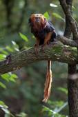 Lion tamarin sitting on tree — Stock Photo