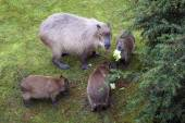 Capybara with three babies eating — Stock Photo
