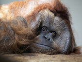 Male orangutan — Stock Photo